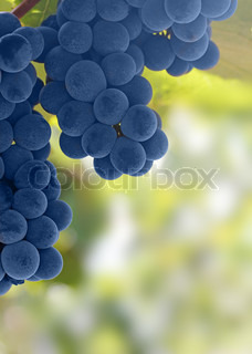 An image of bunches of fresh blue grapes