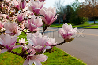 Springtime. Pink magnolia in bloom