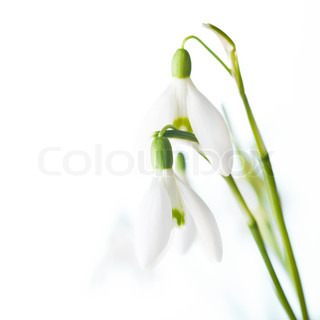Snowdrop blomster