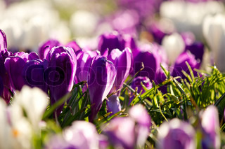 Krokus white and purple in spring sunshine