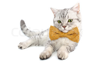 adorable silver white tabby Scottish cat kitten with bow tie
