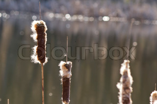 Bulrush seeds of