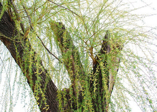 spring willow tree