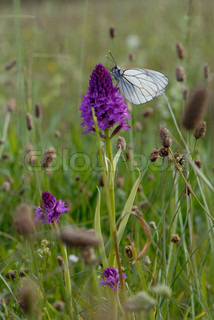 Black-veined white wing on the Horn of Dragons
