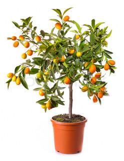 lille citrus træ i potten isoleret på hvidt