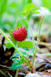 Wild strawberry berry growing in natural environment Macro close-up
