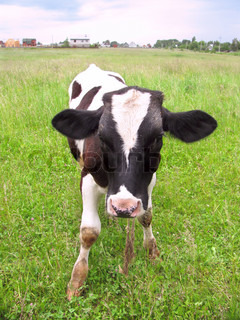 Calf at a meadow