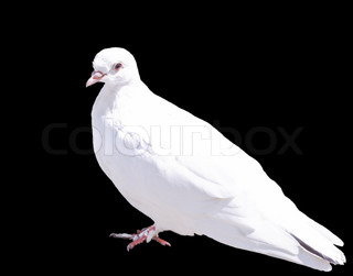 One White Dove Isolated