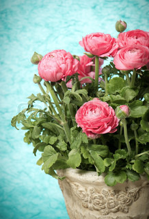bouquet of pink ranunculus flowers
