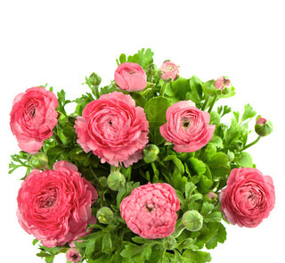 bouquet of spring pink ranunculus
