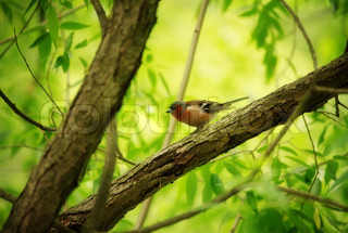 Finch on Tree
