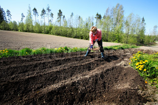 mid adult female farmer planting potatoes by hand in plowed furrows