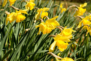 Beautiful yellow daffodil flowers