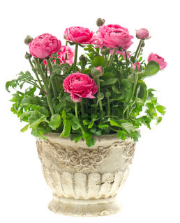 beautiful pink ranunculus plant in pot on white