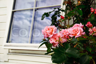 Roses outside a window