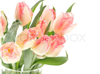 soft spring tulips on white