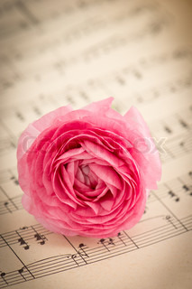 pink ranunculus flowers with green leaves