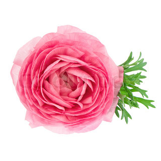 single flower pink ranunculus isolated on white