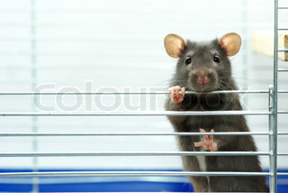 rat sits in cage