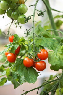 bunch of ripe tomatoes growing