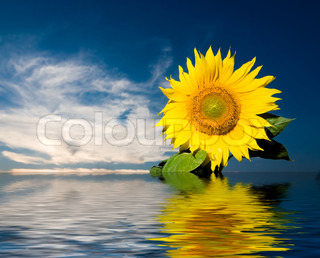 Big sunflower and water