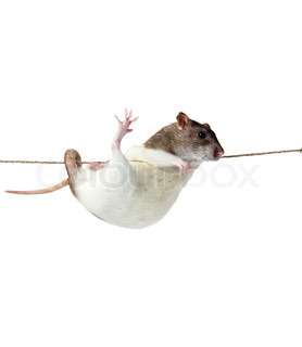 a rat crawling on a rope rat clutching at rope on white background