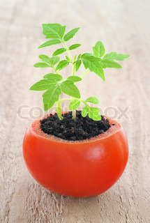 Young tomato plant growing, evolution concept