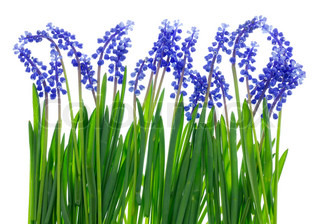 Gentle Easter grass and blue spring flowers isolated background