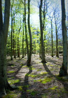 Beech Tree Forest with Budding