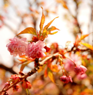 Soft and Pink, Fruit Tree Blossoms