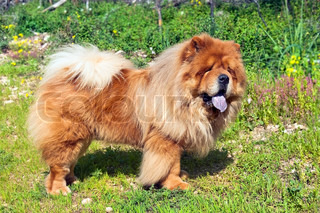 young chow chow dog