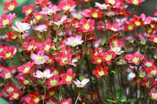 Small red- pink flowers Saxifraga
