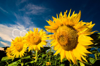 Gold sunflowers on a background of the blue sky