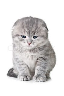 kitten with blue eyes isolated on a white background