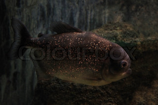 close up of piranha fish in aquarium