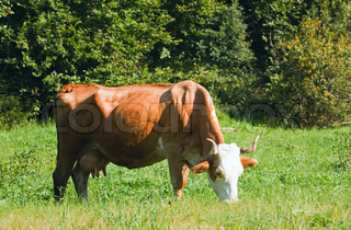 cow on summer meadow