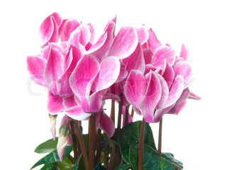 Pink cyclamen on a white background