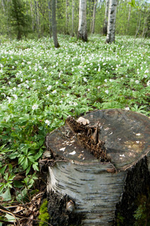 Stump of a tree at field full of white flowers