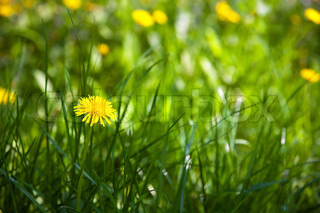 Flowering dandelions. Wildflowers