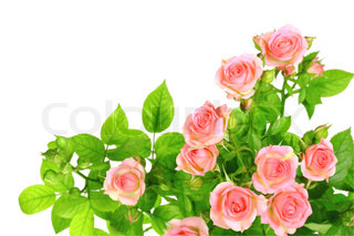 Branch of light pink roses