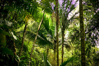 Palm trees in a jungle