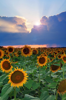 Sunflower on the sunset