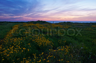 Landscape of a field of daisies at sunset