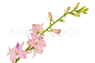 twig with small pink flowers isolated