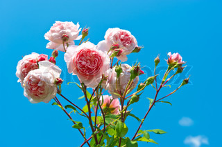 beautiful pink roses over vibrant blue sky