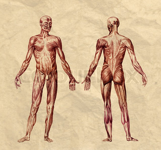 Human muscular system engraving printed on old paper