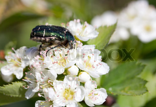Beetle in the green foliage