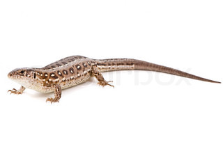 Lacerta agilis Sand Lizard on white background