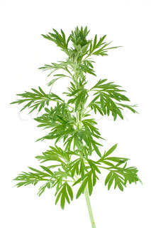 Wormwood is isolated on a white background