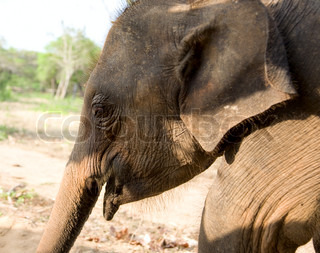 head of Baby Elephant in forest